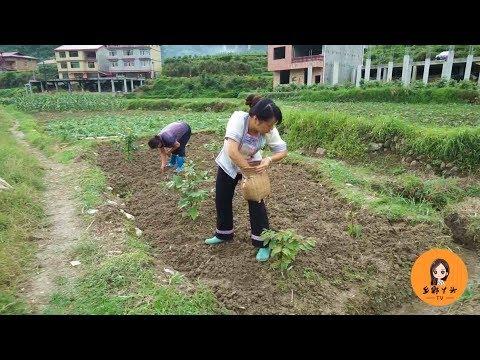 又到种黄豆的季节了,伯母挖地秋子播种,两人配合默契画面好温馨
