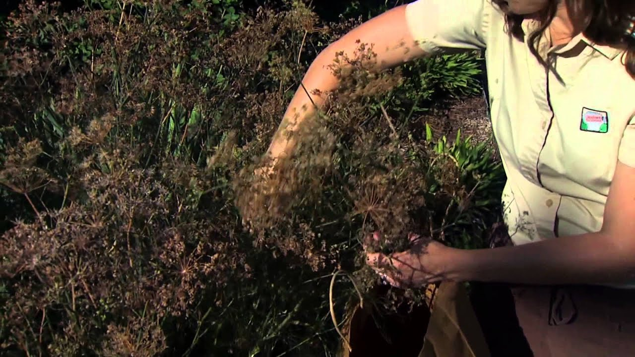 Harvesting Fennel Seed - YouTube
