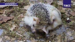 В День сурка ежиха Пуговка из Екатеринбургского зоопарка предсказала приход ранней и капризной весны