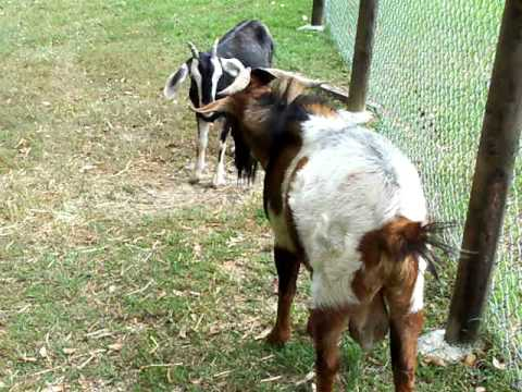 male-goats-peeing-on-their-heads-evelyn-nude-ass