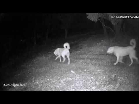 Maremma Sheepdogs on the run - Ruch, Oregon