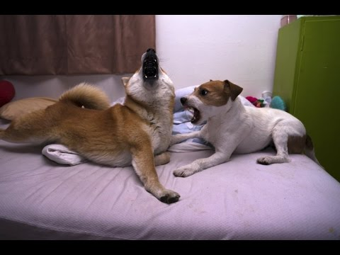 shiba inu vs parson Russel terrier home fight p1
