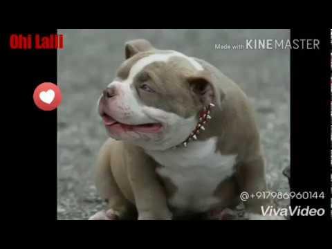 VIP Pitbull Dogs || Ohi Lalli