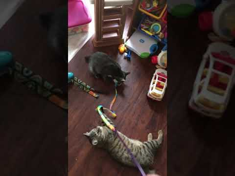 American Bobtail kittens playing