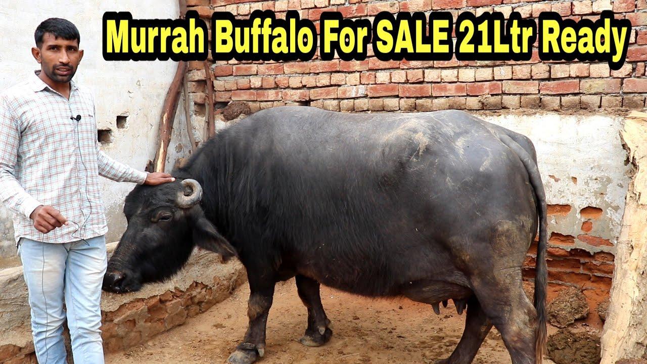 For SALE 21Ltr mlk Ready Murrah Buffalo @ Farmer Home Free