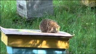 Ёжик на пасеке/Hedgehog in the apiary
