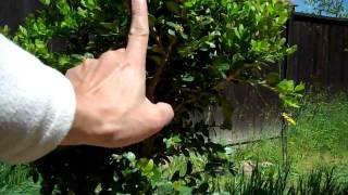 How To Create A Boxwood Bonsai Part 1 Plant Selection And Pruning Mp4 Youtube