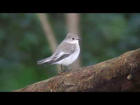 マダラヒタキ(1)迷鳥(仙台市・三神峯公園とフィンランド ...