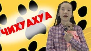 Самая популярная и миниатюрная собака в мире Чихуахуа из видео Бинуры.