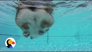Swimming Corgi Butt Is The Best Thing Ever | The Dodo