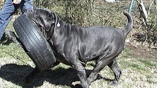 Largest Neapolitan Mastiff Champion, Best-in-show Winner Ch Samson