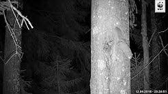 Rakkautta ilmassa? Liito-orava sai vierailijan WWF:n Luontolivessä