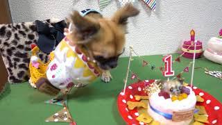 チワワのプー助1歳のお誕生日。似顔絵ケーキでお祝い♪いざとなると緊張...