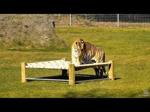 Tiger VS Bed
