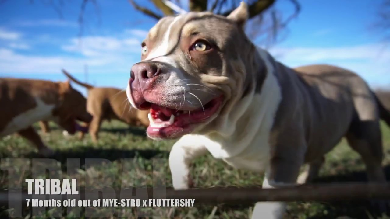 ONE OF THE TOP POCKET AMERICAN BULLY BREEDING PROGRAMS DOUBLE L KENNELS  YOUNG STARS