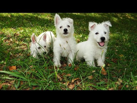 West Highland White Terrier, Puppies For Sale, Atlanta, Georgia, Area