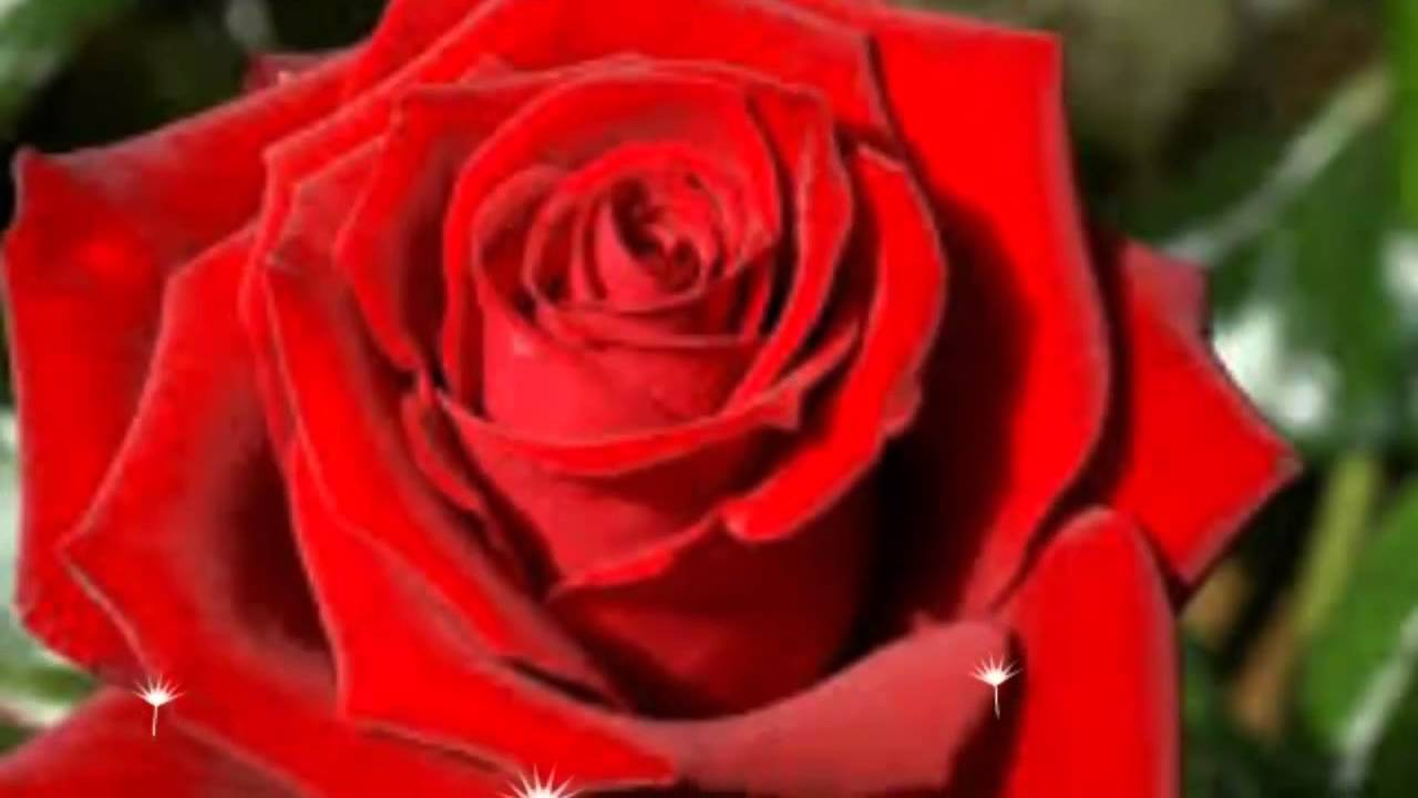 Las Rosas Mas Bonitas Del Mundo The Most Beautiful Roses In The