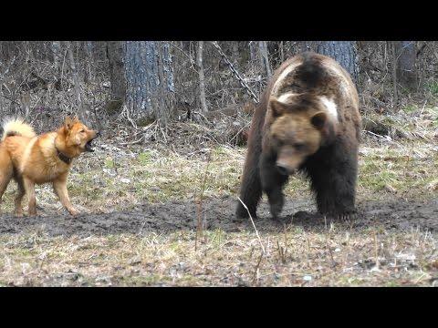 видео: Карело финская лайка. Притравка на медведя.Полевые  испытания 2017.