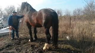 Продаем лошадей тяжеловозов разной породы 8938 109 69 99