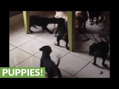 Dog challenges entire litter of puppies to tug-of-war