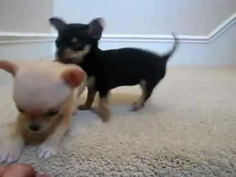 Cuccioli Di Chihuahua Appena Nati !! ADORABILI !!