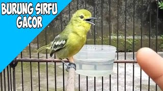 Download Lagu BURUNG SIRFU GACOR DI TANGAN mp3