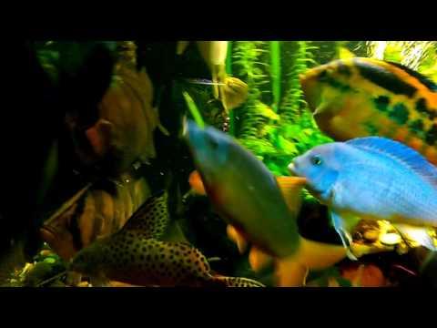 Крупные экзотические рыбы кормление .Часть1