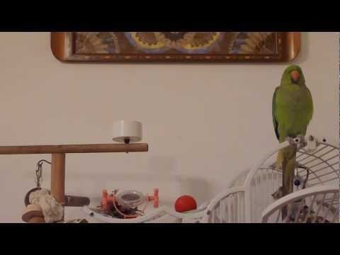 Baby Indian Ringneck Parakeet Talking Up a Storm