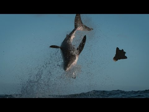 Great White Chases the HORNET