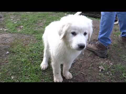 Maremma puppy - female - light blue collar