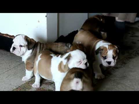 English Bulldog Puppies For Sale Lizzy King