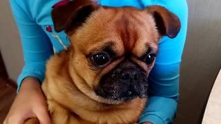 Брабансон Гоша рассказывает, едят ли собаки облепиху!