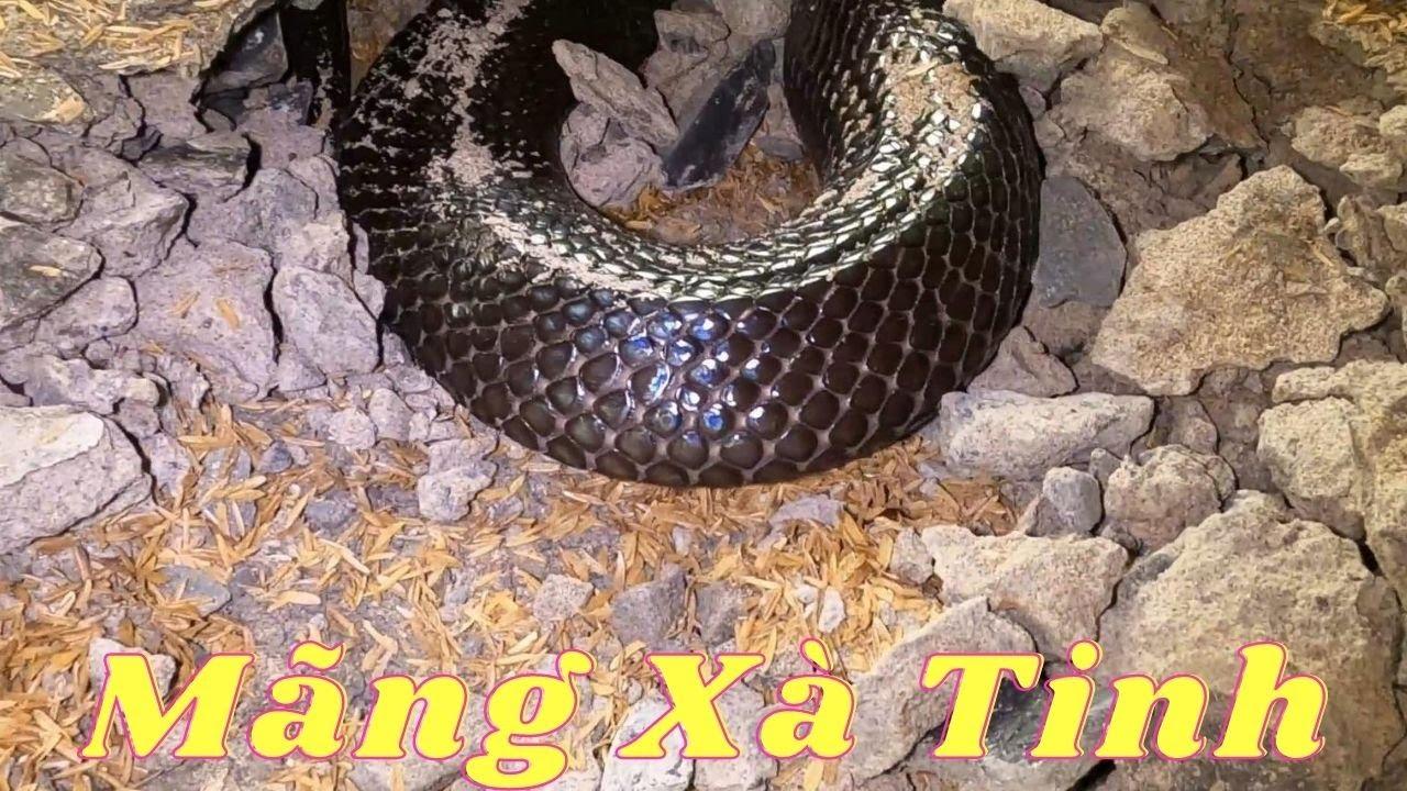 25 Phút Chiến Đấu Căng Não Với Con Quái Vật To Khủng Khiếp (Catch The Giant Cobra)