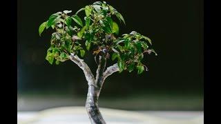 Explosive Ember Ornamental Pepper Capsicum annuum indoor fusion bonsai, repot May 2017