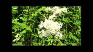 Meadowsweet has a range of uses in herbal medicine: Meadowsweet Part 1