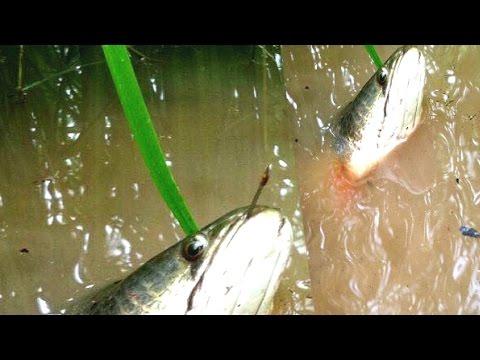 Top AMAZING Net Fishing - Net Fishing at Kompong Spue Province - Cambodia Traditional Fishing #3