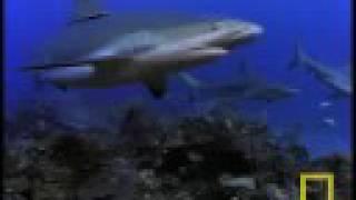 First Crittercam: Bull Sharks