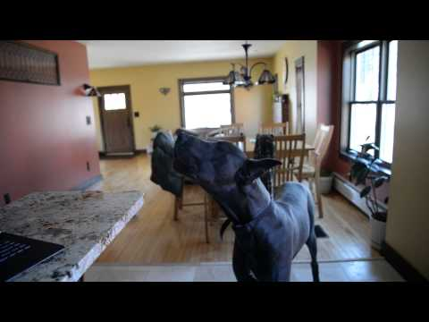Blue Great Dane Howling. Guaranteed to make your dog howl!!!!!!!