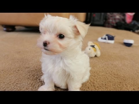 Maltese Puppies Play With Baby Shoes