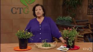 Nutritious wild purslane |Trisha Shirey |Central Texas Gardener