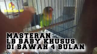 MASTERAN LOVEBIRD BABY JANGAN PANJANG PANJANG YANG PENTING SERING NARIK !!!