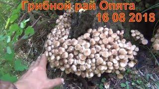 Грибной рай Опята 16 08 2018 Белый гриб рыжики маслята лисички волнушки Сбор грибов тихая
