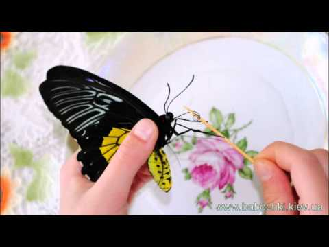 Кормление бабочек дома, http://babochki.kiev.ua