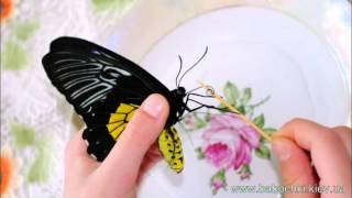 Кормление бабочек дома, http://babochki.kiev.ua(http://babochki.kiev.ua +38050 958 60 70 +38044 383 54 62 http://www.sendflowers.ua Живые тропические бабочки достаточно комфортно себя чувств..., 2014-12-25T20:01:54.000Z)