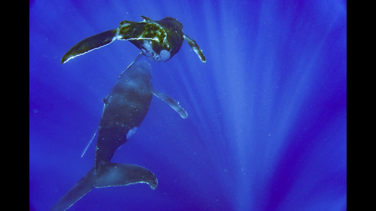 Swimming with Humpback Whales in Moorea! - YouTube
