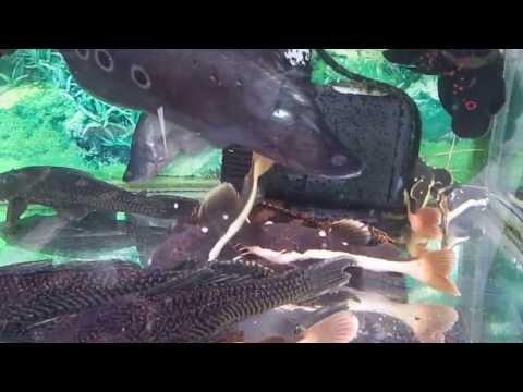 cá hồng vĩ mỏ vịt ở biên hòa
