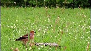 Природа Сибири - птички едят семечки в траве
