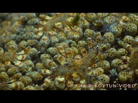© 4К  Асцидия Botryllus schlosseri ⁄⁄ Сolonial ascidian tunicate