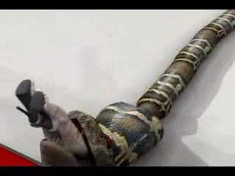Snake voreville.com video x this video/series
