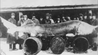Самая большая в мире пойманная Рыба  Белуга осётр 1490 кг